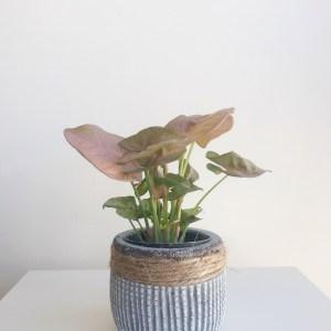 Syngonium neon robusta en maceta cerámica