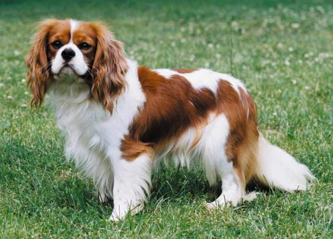 10 Most Expensive Dog Breeds In The World 6