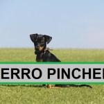Perro Pincher