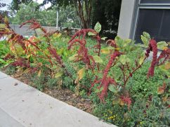 Amaranthus with bright red stems.