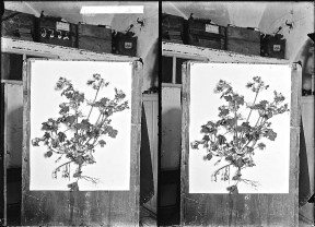 Wild flowers of Palestine. Wood-mallow (Malva sylvestris L.), 1900-1920 by the American Colony, via Library of Congress.