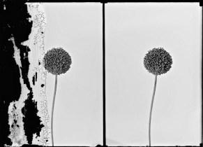 Flowers [wild garlic -- Allium ampeloprasum L.], c. 1898-1946.