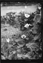 Agriculture, etc. Various shades of anemones. Colours ranging from snow white to all shades of pink, dark purple and blue, c. 1930-1933.