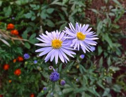 Aster oolentangiensis or sky blue aster in the cutting garden