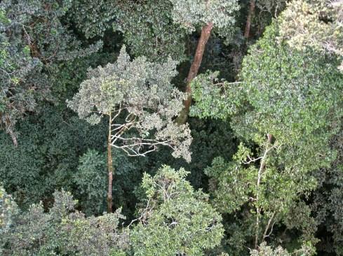 Look down, Canopy walk, Nyungwe National Park, Rwanda/enclos*ure
