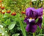 Bearded iris and marigolds