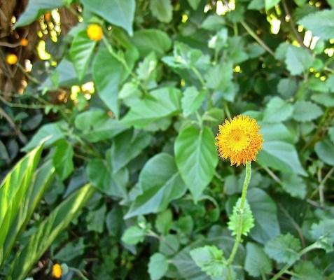 A Crassocephalum (vitellinum?) native to Rwanda.
