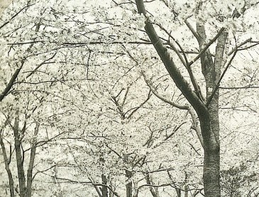 Cherry blossom viewing in Japan, ca. 1903, National Museum of Denmark