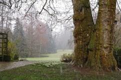 A huge Platanus x hispanics or London plane tree.