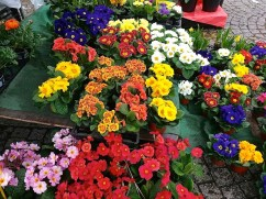 Potted primroses in almost every color are a feature of the markets and florists right now.