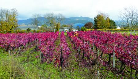 O viño é un motor fundamental na economía da Ribeira Sacra.  Arquivo EC.