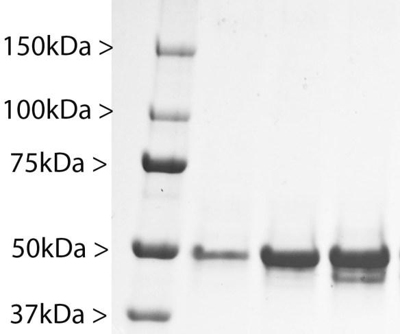 GFAP Protein