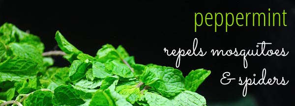 Peppermint repels mosquitos & spiders