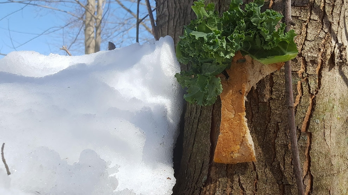 Bread and lettuce attached to tree in winter