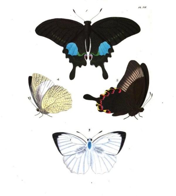 Figure 1 & 2 Papilio Paris and figure 3 & 4 Colias (Callidyras) Pyranthe butterfly illustrations