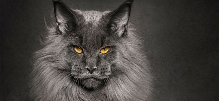 Maine Coon Cats Featured Image