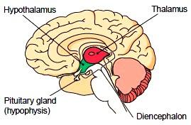 Image result for diencephalon