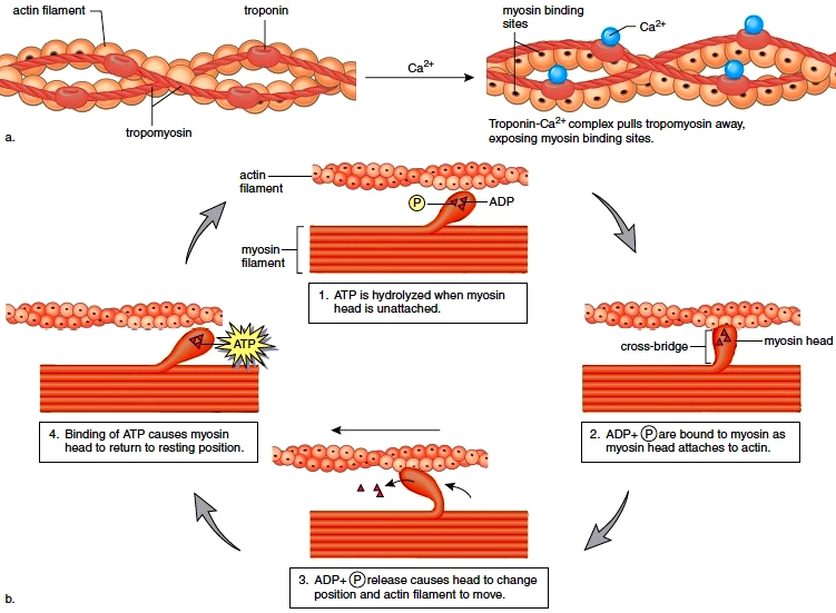 Calcium and Myosin in Muscle Contraction