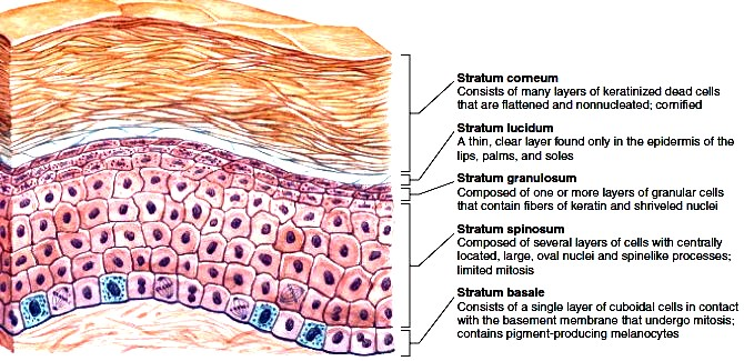 Image result for epidermis layers