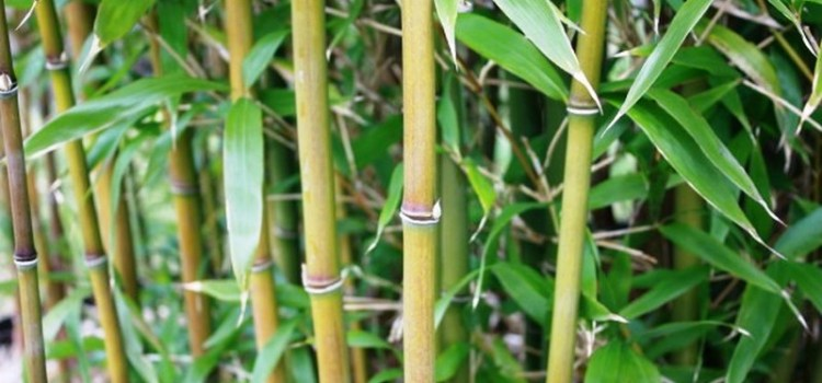 Fylostachys niski (Phyllostachys humilis)
