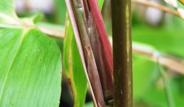 Fylostachys ciemnopochwowy (Phyllostachys atrovaginata)