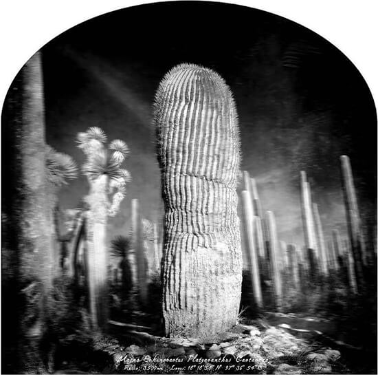 Marcela Taboada_Magna Echinocactus Platyacanthus_Arte_Oaxaca_Endemismo