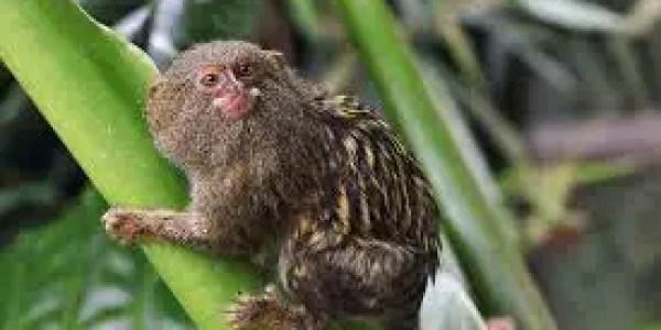 File:Pygmy marmoset - Flickr - alden0249.jpg - Wikipedia