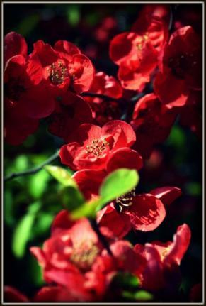 Dominant Red Petals