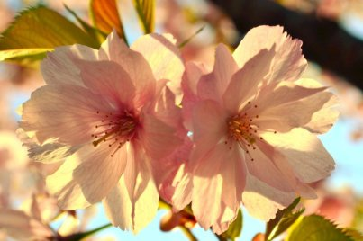 Sunset Blossoms (1)