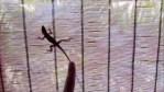 Gecko - Varadero, Cuba