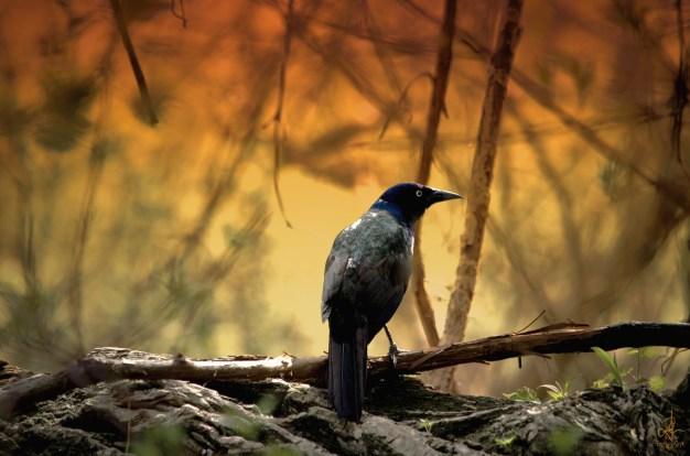 Blackbird sitting in the tree © Pennie McCracken - Endless Skys