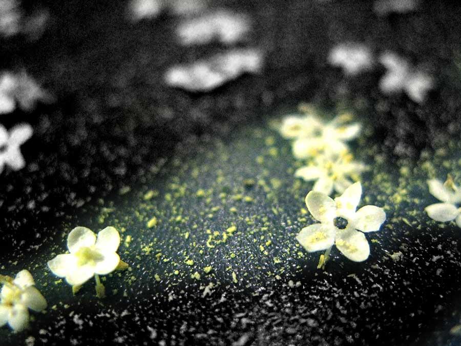 Für den Holundersirup verwendet man nur die Blüten