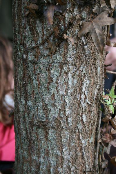 Le tronc du chêne