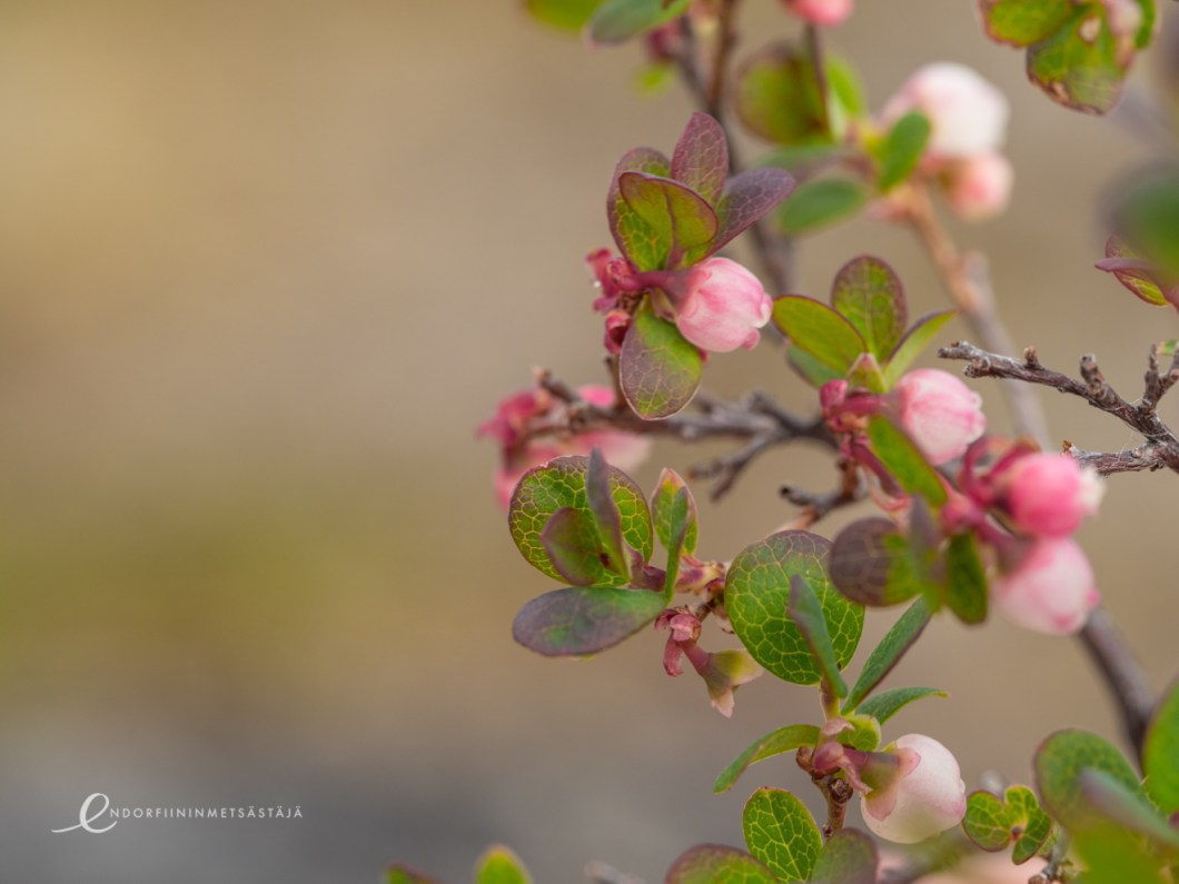 Bog bilberry flowers in Greenland. Photo: Terhi Jaakkola