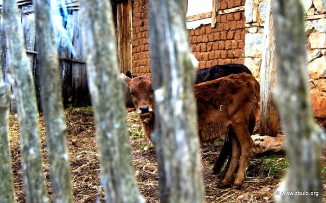 All kind of farm animals are kept, especially goats and sheep on the high meadows and cows near the village.