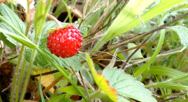 Strawberries in the end of May