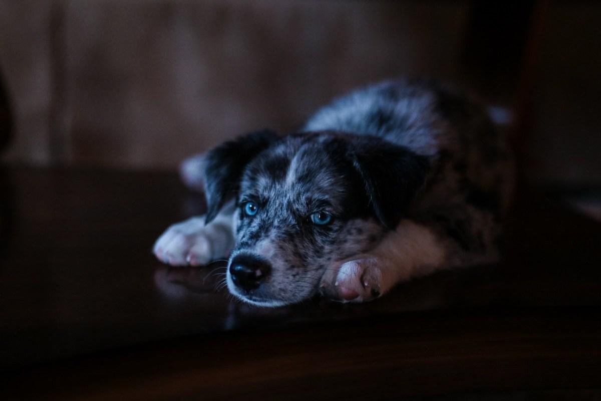 Petardos y fuegos artificiales: los enemigos de los perros