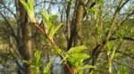 Grön kvist