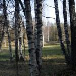 medveten närvaro - bild på björkar i tyresta