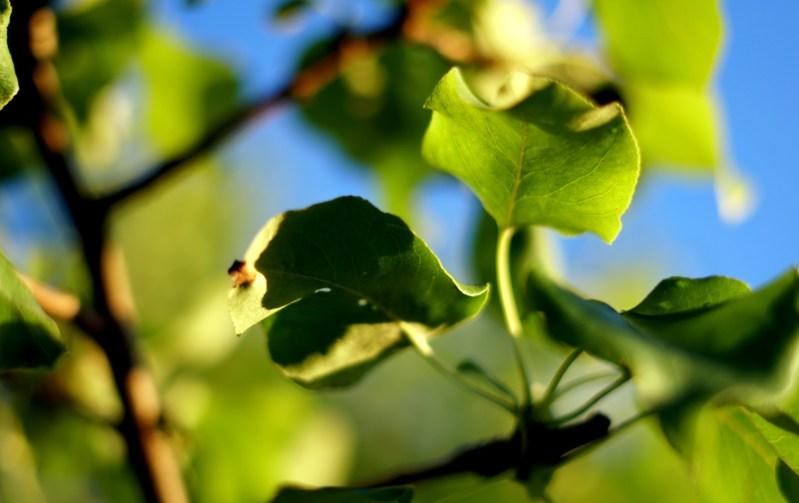 allostas 3 löv och träd