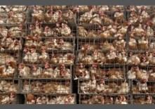 80e3c135ef13817eeda72f53d120-are-factory-farms-unnecessary-and-cruel