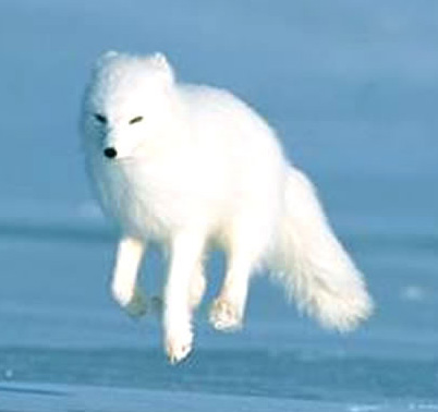 Arctic Fox Natural Gas Pipeline Alaska Energy Wiki