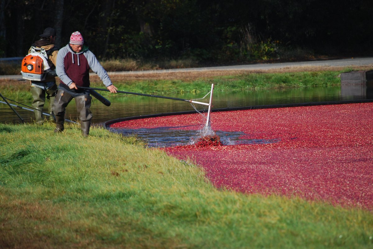 A cranberry bog in Kingston, Massachusetts.