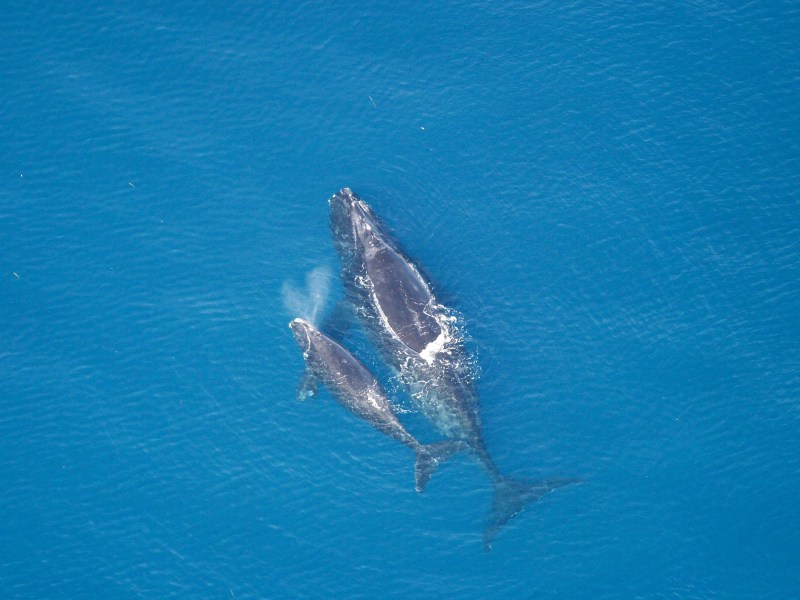 Right whale and calf from above.