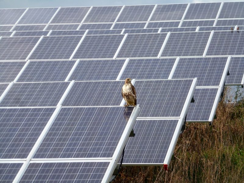 A red-tailed hawk sits on a solar array in Ann Arbor, Michigan.