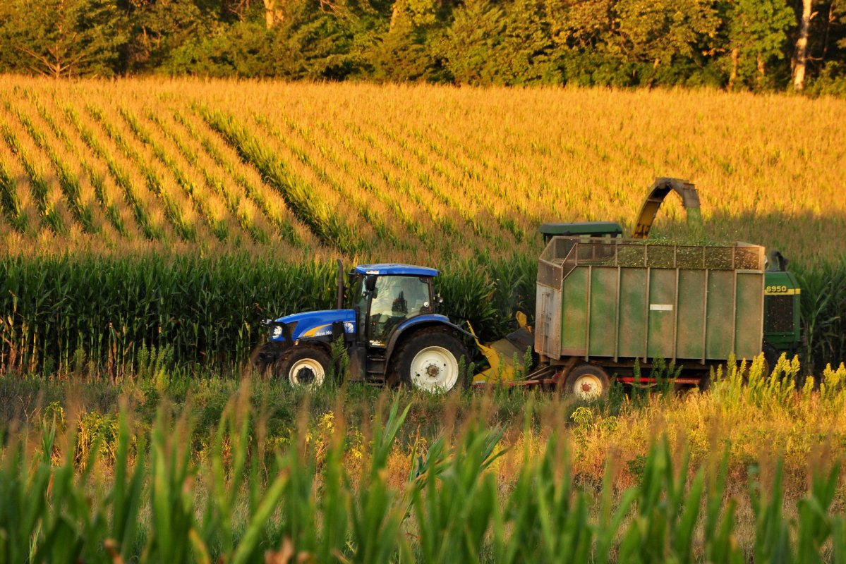 Farmers chopping corn for silage.
