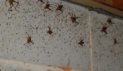 camel crickets crawl space halloween