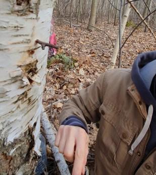 Après la récolte de la sève de bouleau, il est important de boucher le trou pour éviter aux parasites de tuer l'arbre.