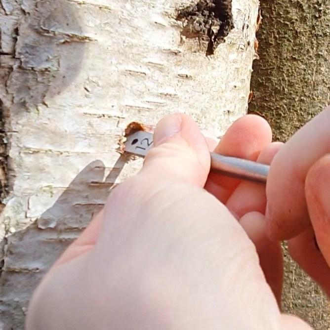 La sève de bouleau se récolte après avoir percé un trou dans son écorce.