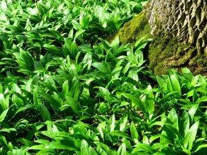 Les feuilles d'ail des ours font des milliers d'heureux chaque année ! Chacun garde son spot secret !